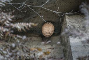 スズメバチの巣の写真素材 [FYI01679233]