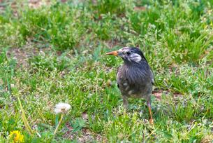 草地のムクドリの写真素材 [FYI01679346]