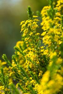 ウインタークラッカーの花の写真素材 [FYI01679385]