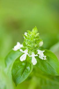 スイートバジルの花の写真素材 [FYI01679464]