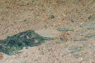 金鱗湖から流れる小川の魚影(カワムツ)の写真素材 [FYI01679548]