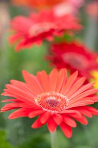 ガーベラの花の写真素材 [FYI01679640]