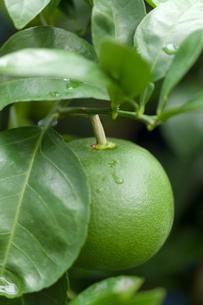 青いグレープフルーツの実の写真素材 [FYI01679661]