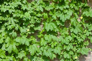 ゴーヤの葉の写真素材 [FYI01679672]