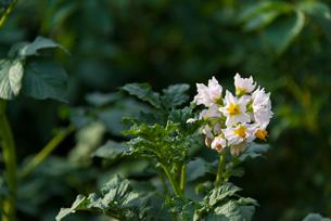 ジャガイモの花の写真素材 [FYI01679907]