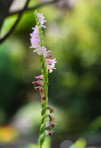 ネジバナの花の写真素材 [FYI01680071]