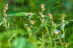 ウラジロチチコグサの花の写真素材 [FYI01680216]