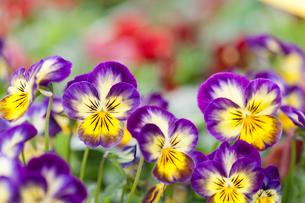 ビオラの花の写真素材 [FYI01680335]