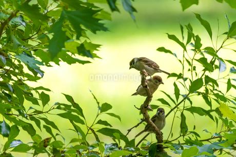 小枝のスズメの写真素材 [FYI01680502]
