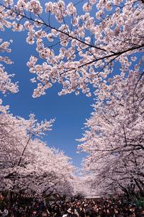 上野公園 花見の写真素材 [FYI01681181]