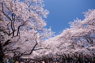 上野公園の花見の写真素材 [FYI01681308]