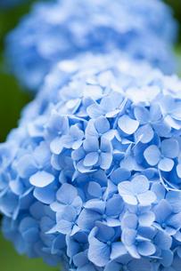 アジサイの花の写真素材 [FYI01681397]