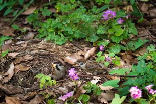 保護色のスズメの写真素材 [FYI01681459]