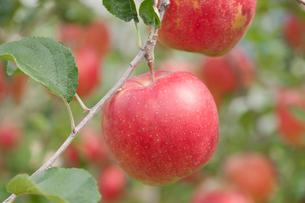 リンゴ畑 陽光の写真素材 [FYI01681628]