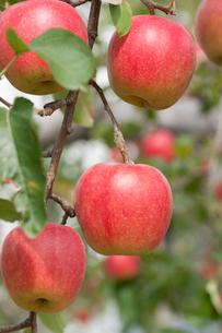 リンゴ畑 陽光の写真素材 [FYI01681907]