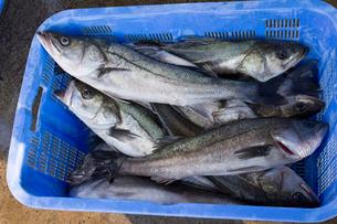 漁港に水揚げされたスズキの写真素材 [FYI01682169]