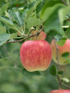 リンゴ畑の写真素材 [FYI01682245]
