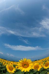 ヒマワリ畑の写真素材 [FYI01682263]