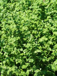 シマカンギク 薬用植物の写真素材 [FYI01682535]