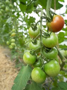 トマトのハウス栽培の写真素材 [FYI01682763]