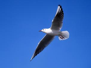 青空を飛ぶカモメの写真素材 [FYI01682855]