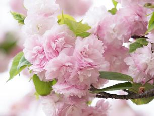 八重桜 日暮の写真素材 [FYI01682867]