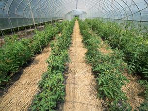 トマト畑の写真素材 [FYI01682988]