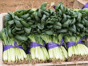 収穫したコマツナの写真素材 [FYI01683026]