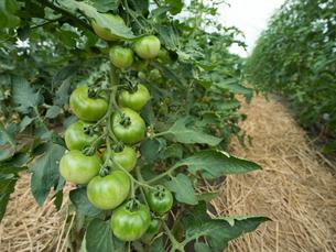 トマトのハウス栽培の写真素材 [FYI01683074]