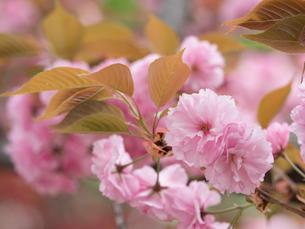 八重桜 開山の写真素材 [FYI01683145]