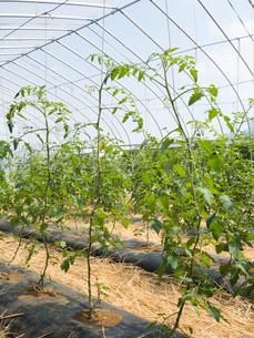 トマトのハウス栽培の写真素材 [FYI01683175]