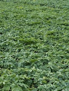 コンニャク畑の写真素材 [FYI01683187]
