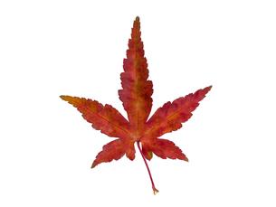 紅葉したカエデの葉の写真素材 [FYI01683228]