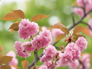 八重桜 開山の写真素材 [FYI01683246]