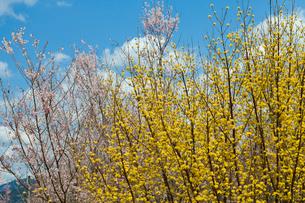 西吉野町青い空とサンシュユの写真素材 [FYI01683298]