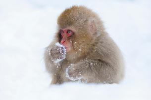 地獄谷野猿公苑の猿の写真素材 [FYI01683338]