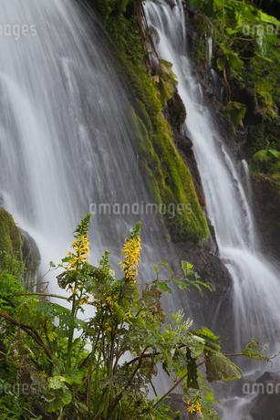 吐竜の滝メタカラコウと流れの写真素材 [FYI01683350]