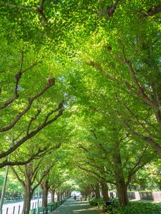 東京都 神宮外苑のイチョウ並木の写真素材 [FYI01683358]