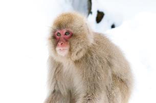 地獄谷野猿公苑の子猿の写真素材 [FYI01683360]