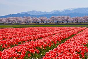 チューリップと舟川ベリの桜の写真素材 [FYI01683373]