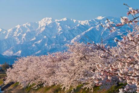 舟川べりの桜と朝日岳の写真素材 [FYI01683376]