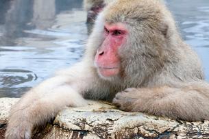 地獄谷野猿公苑の温泉に浸かる猿の写真素材 [FYI01683381]