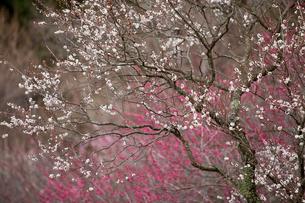湯河原梅林の白梅と紅梅の写真素材 [FYI01683402]