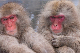 地獄谷野猿公苑の猿の写真素材 [FYI01683444]
