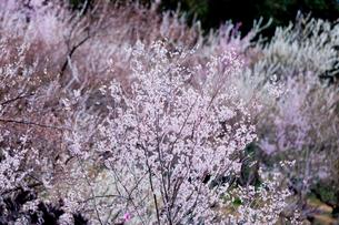 奈良県西吉野町桜の写真素材 [FYI01683452]