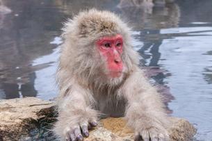 地獄谷野猿公苑の猿の写真素材 [FYI01683490]