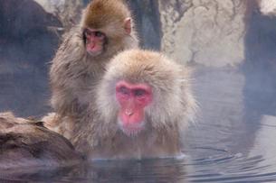 地獄谷野猿公苑の猿の写真素材 [FYI01683503]