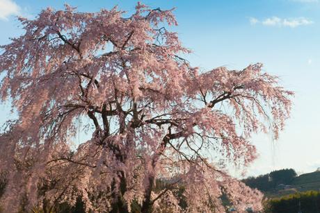 風に揺れるピンクの枝垂れ桜の写真素材 [FYI01683507]