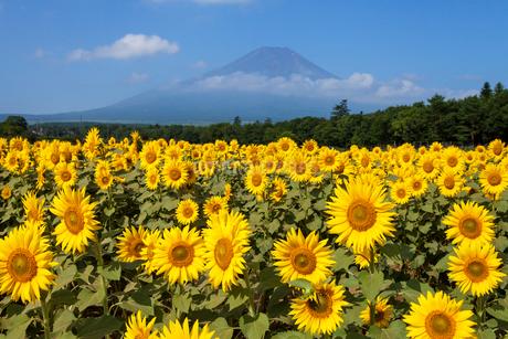 花の都公園のヒマワリの写真素材 [FYI01683523]