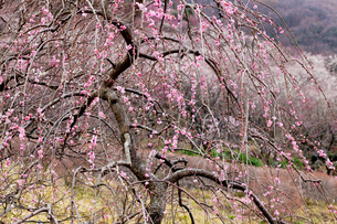 湯河原梅林のピンクの梅の写真素材 [FYI01683526]